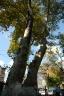 Rumelikavağı tarihi ağaçlar